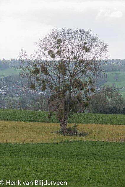 Boom met mistletoe